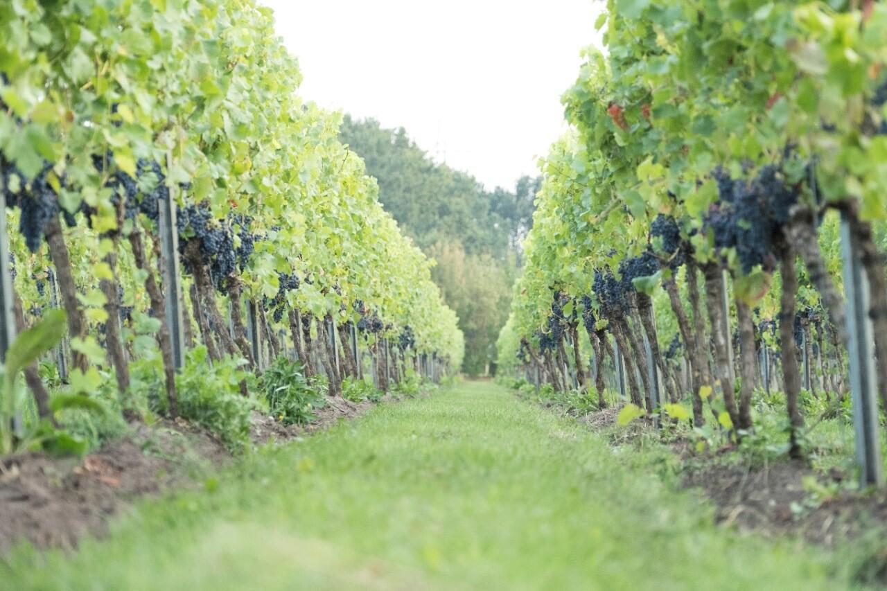 Overzicht wijngaard Wijngoed de Reestlandhoeve