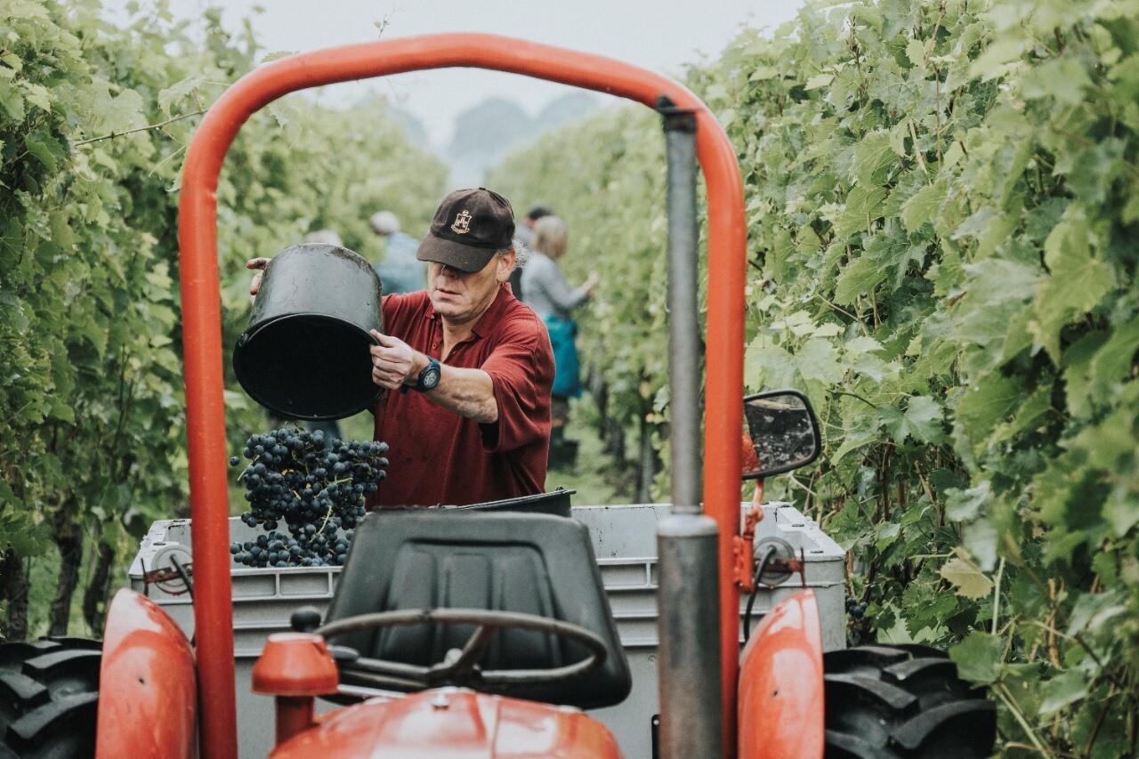 Helpen druivenplukken op Wijngoed de Reestlandhoeve