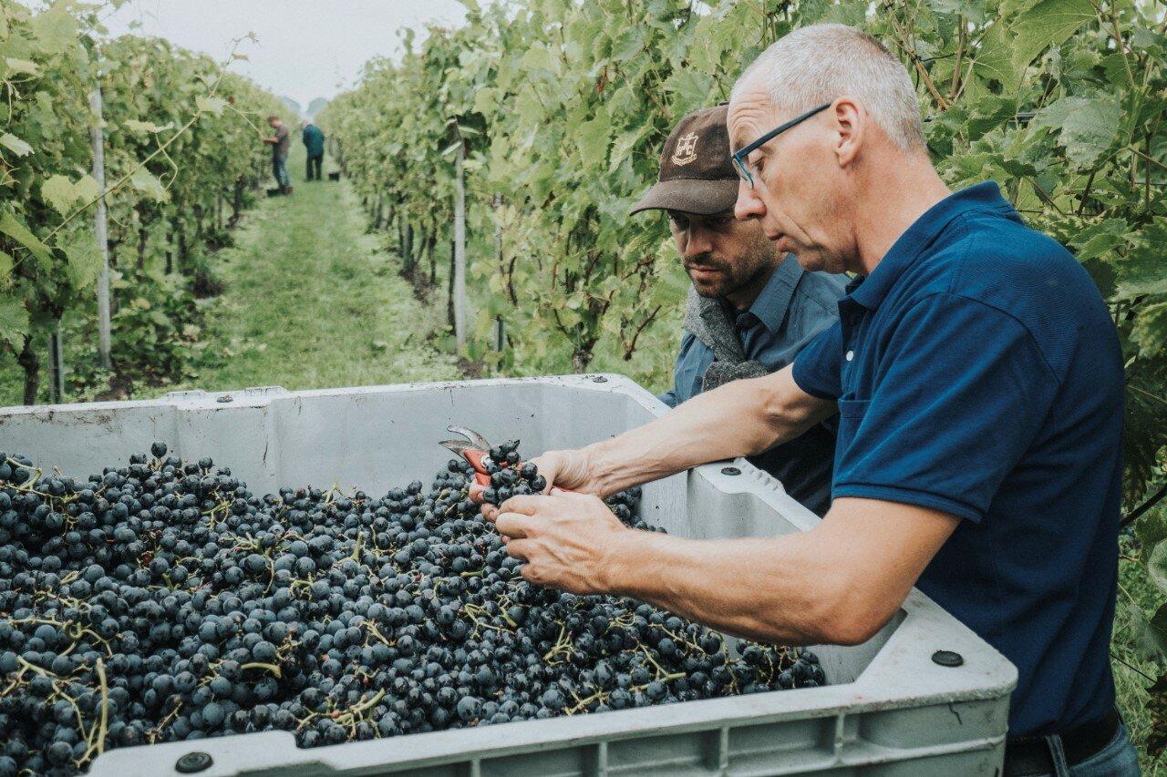 Op de Reestlandhoeve wordt de kwaliteit van druiven gecontroleerd.